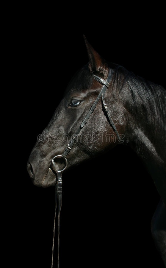 Download Head of black horse stock photo. Image of neck, equine - 7015012