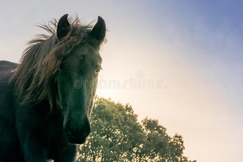 Head of black horse of Losino breed staring at the sunset. stock photo