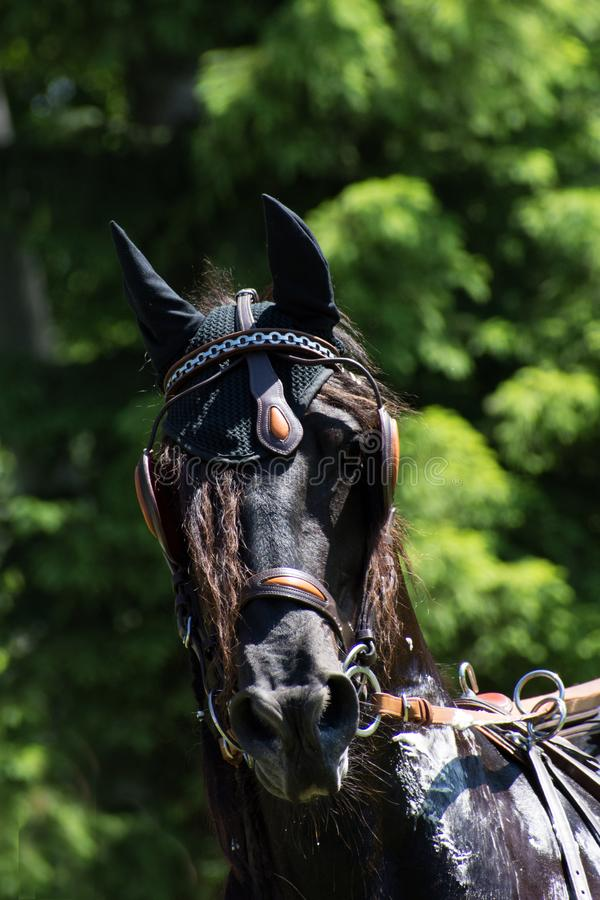 Head of the black horse royalty free stock photography