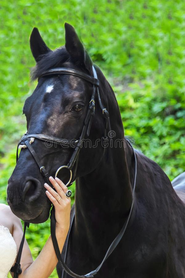 Head of the black horse. The sight of a stallion. Portrait of a sports horse in bridle. Beautiful noble animal the horse stock photo