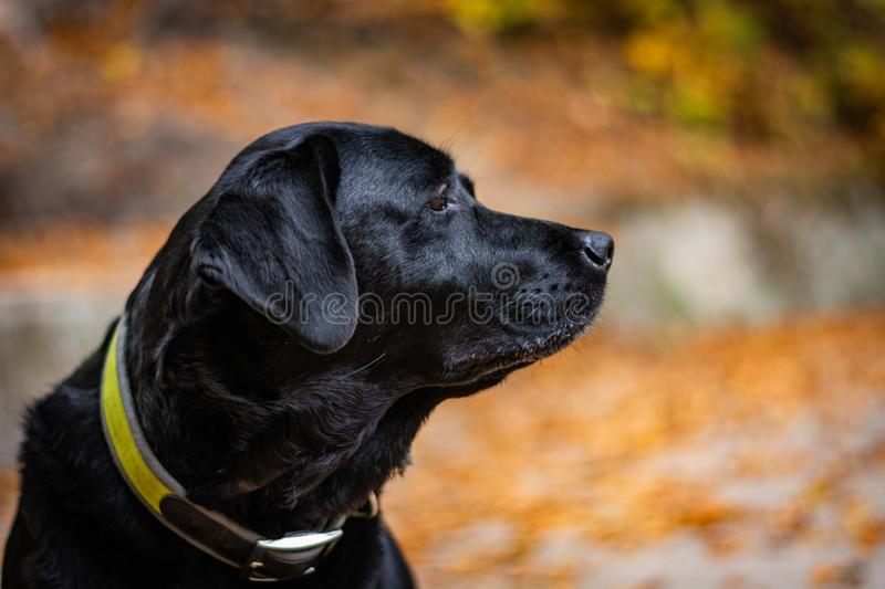 Head of black Labrador Retriever during autumn, dog is looking right and has green collar, orange leaves are around.  royalty free stock photos