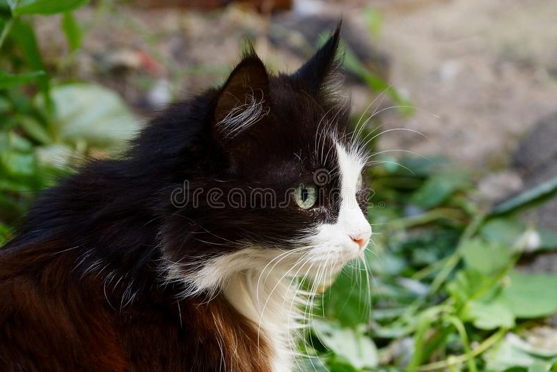 The head of a black white spotted fluffy cat in green vegetation. Head of one black white spotty fluffy cat in green vegetation on the street royalty free stock image