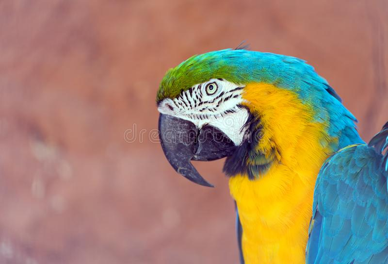 Head of blue-and-yellow macaw Ara ararauna. The blue-and-yellow macaw Ara ararauna, also known as the blue-and-gold macaw, is a large South American parrot with stock photos