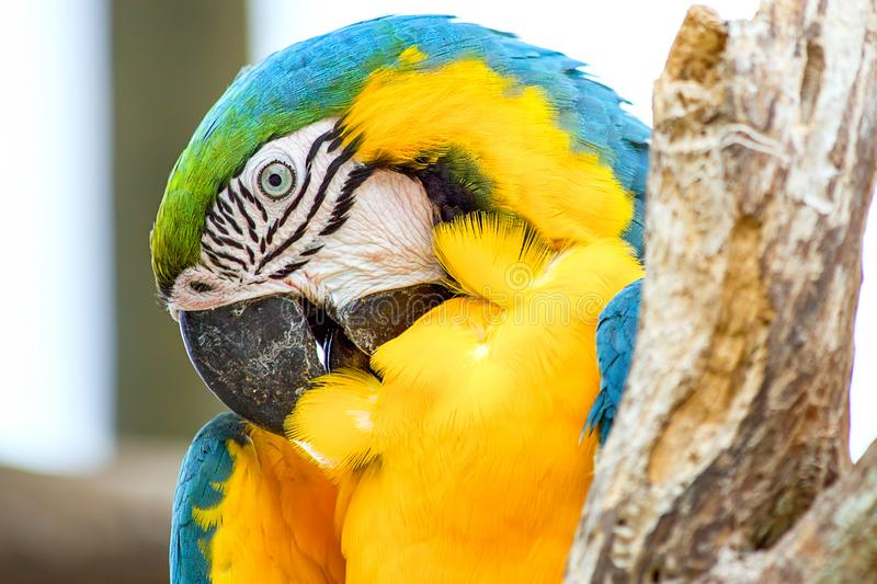 Head of a blue and yellow macaw royalty free stock photo