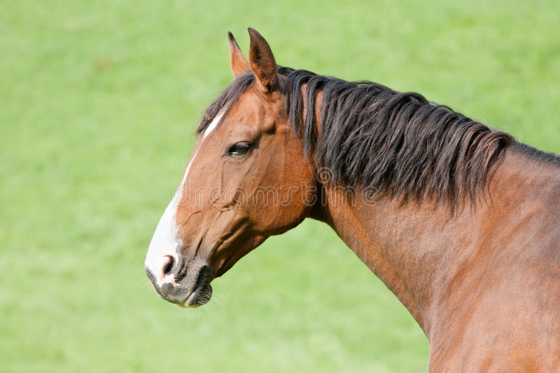 Head of a brown horse royalty free stock photography