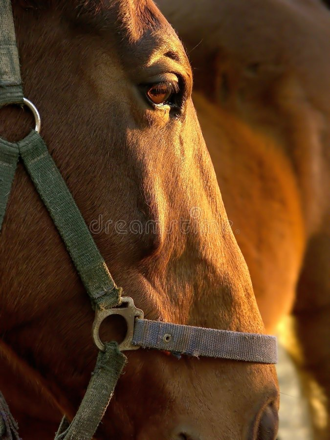 Head of a brown horse at sunset stock photography