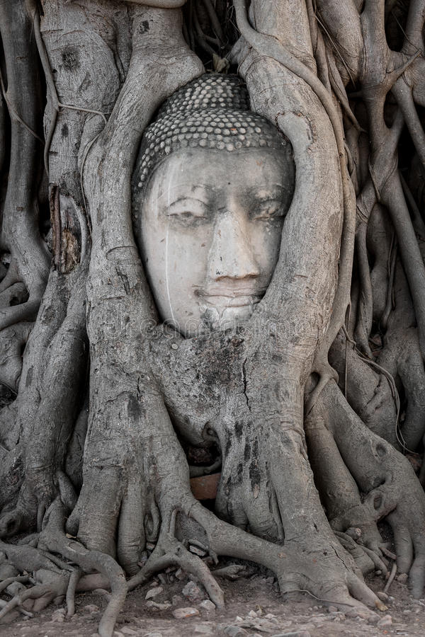 Head of buddha image in the tree at Wat Ma Ha That temple, Ayutthaya, Thailand royalty free stock images