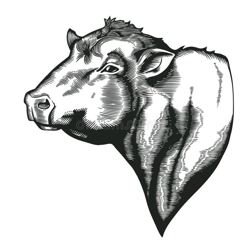 Head of bull of dangus breed drawn in vintage woodcut style. Farm animal isolated on white background. Vector stock illustration