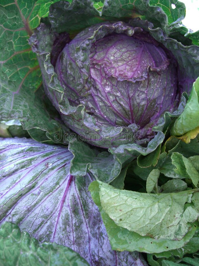 Download Head of Cabbage stock photo. Image of green, market, farmstand - 1072318