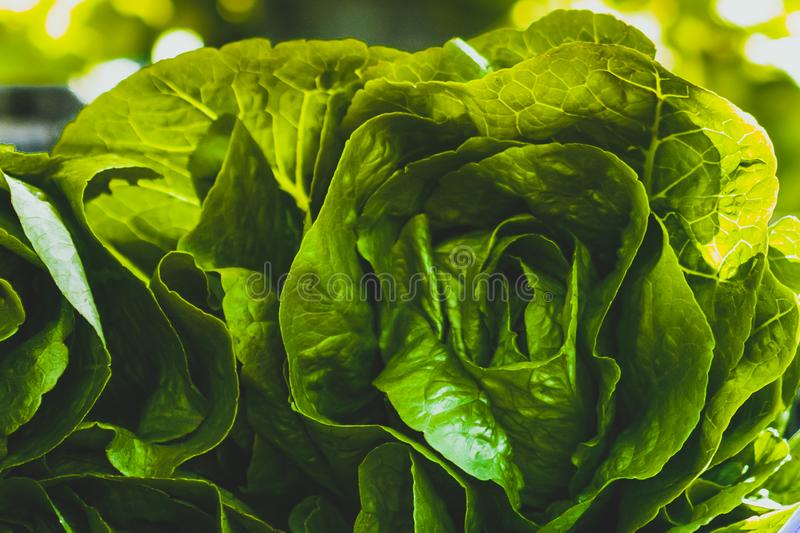 Head of cabbage a food is being produced in a sustainable, environmentally friendly and financially viable way. The family farm started changing in the early royalty free stock image