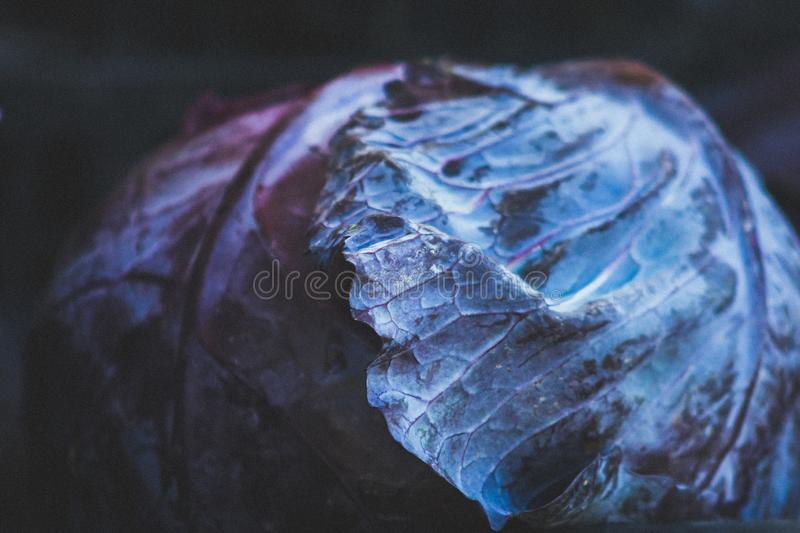 Head of cabbage a food is being produced in a sustainable, environmentally friendly and financially viable way. The family farm started changing in the early royalty free stock photo