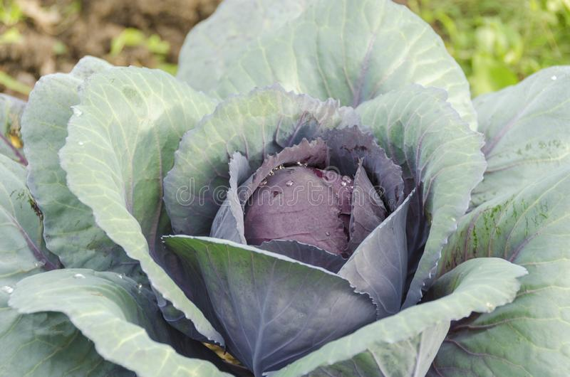 Head of cabbage red cabbage. Head of cabbage red on the garden bed royalty free stock image