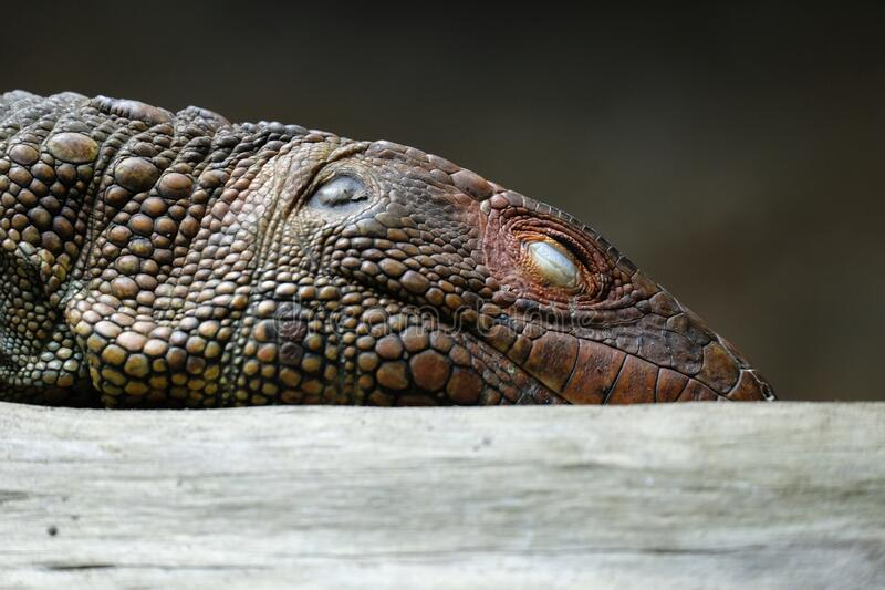 Head of a caiman lizard royalty free stock photography