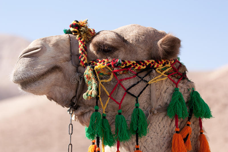 Head Of An Camel Royalty Free Stock Photography