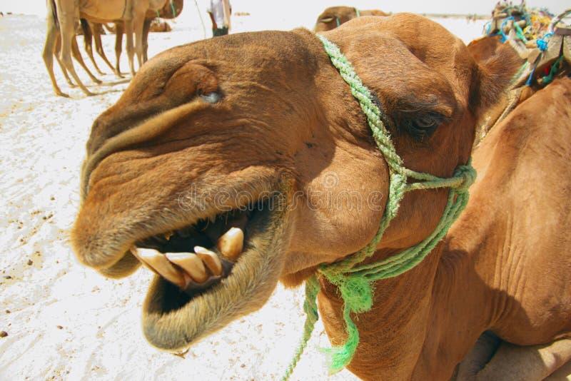 Head of camel stock photos