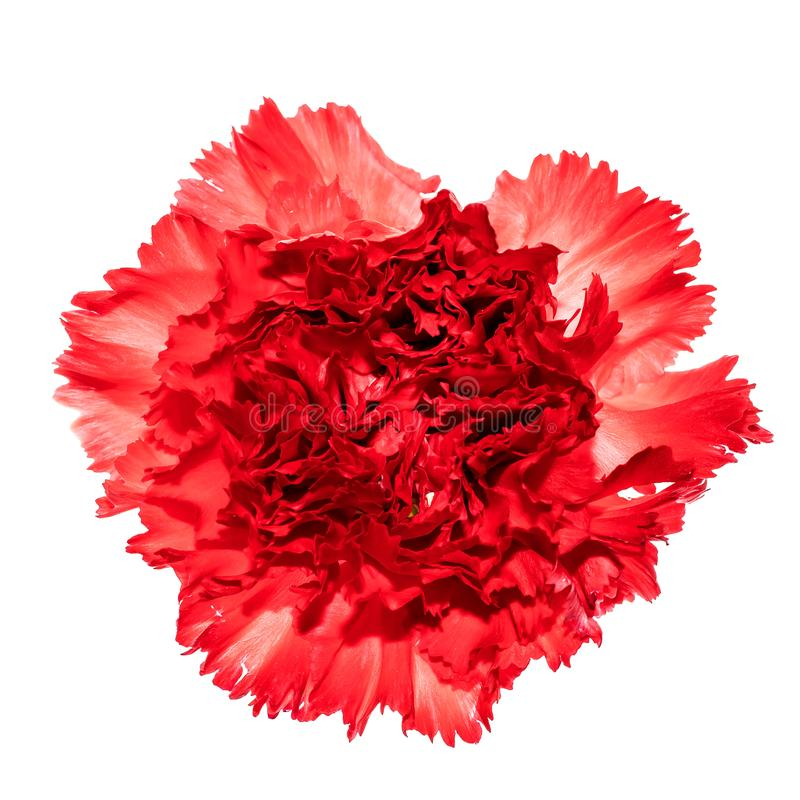 Head of carnation flower isolated on white background stock photos