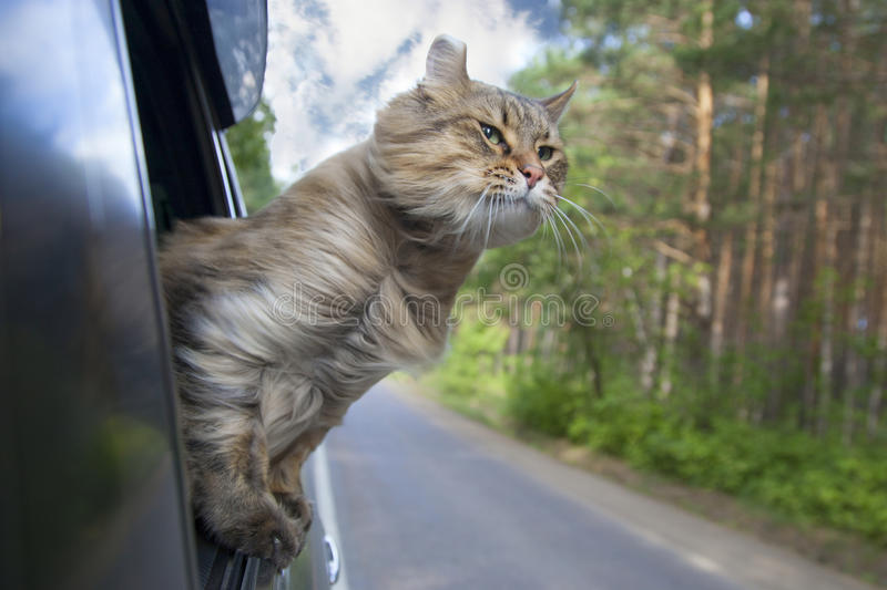 Head Cat out of a car window in motion royalty free stock photo