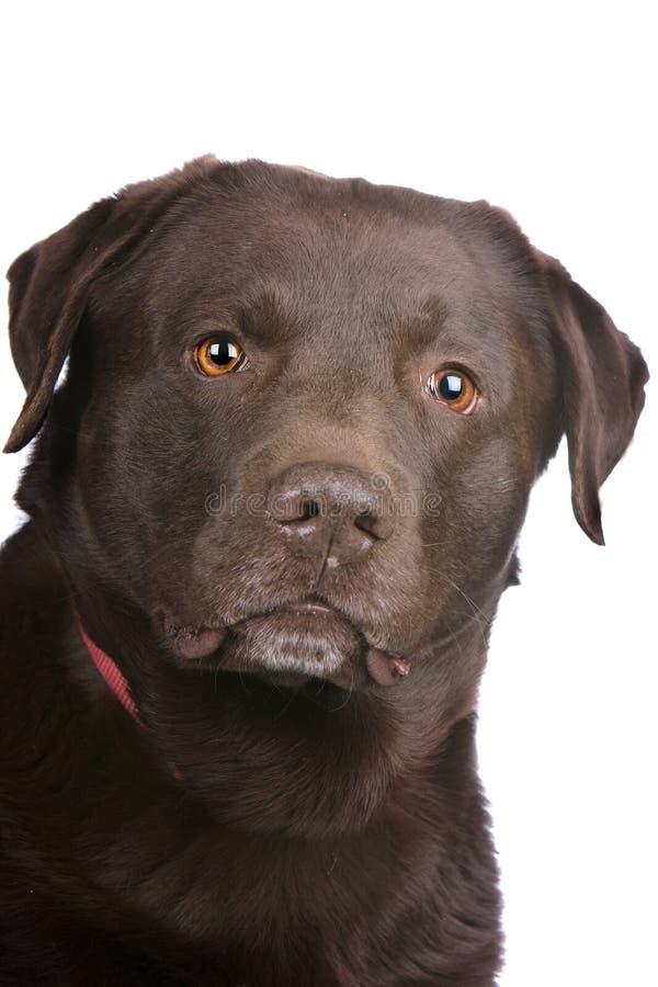 Head Of A Chocolate Labrador Retriever Dog Royalty Free Stock Image