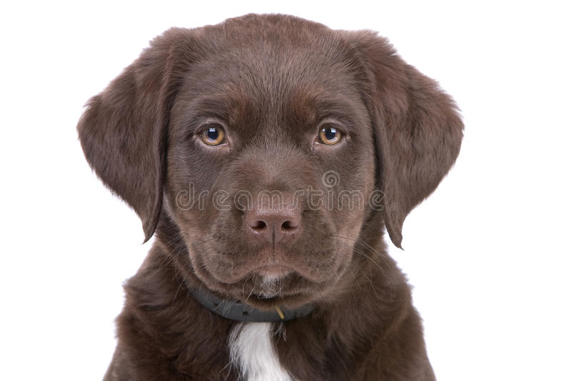 Head of chocolate labrador retriever puppy. Looking at camera, isolated on a white background royalty free stock images