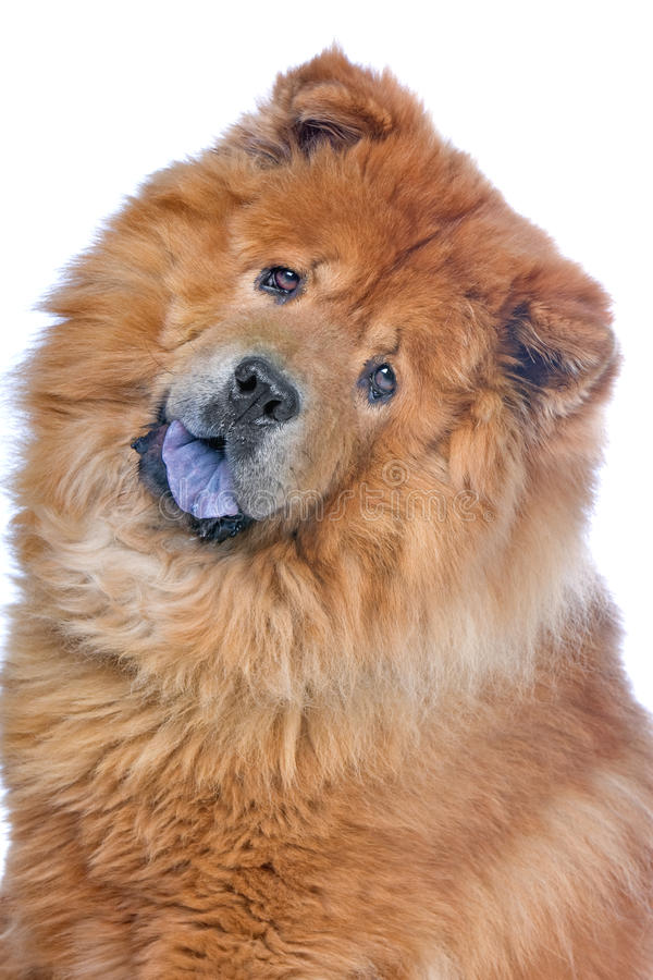 Download Head of a chow chow dog stock photo. Image of looking - 15742518