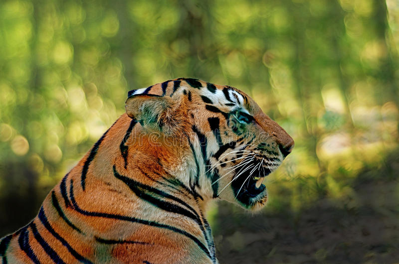 Head closeup shows deadly jaws of Royal Bengal Tiger royalty free stock photo
