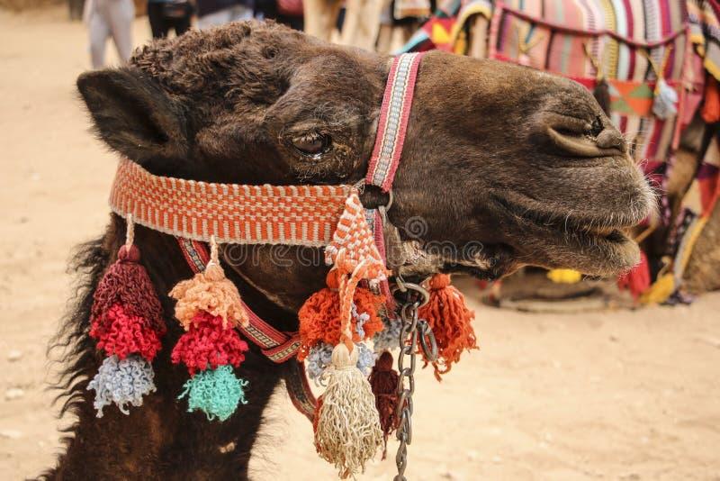 Head closeupstående för kamel med den färgrika traditionella selet in royaltyfri fotografi