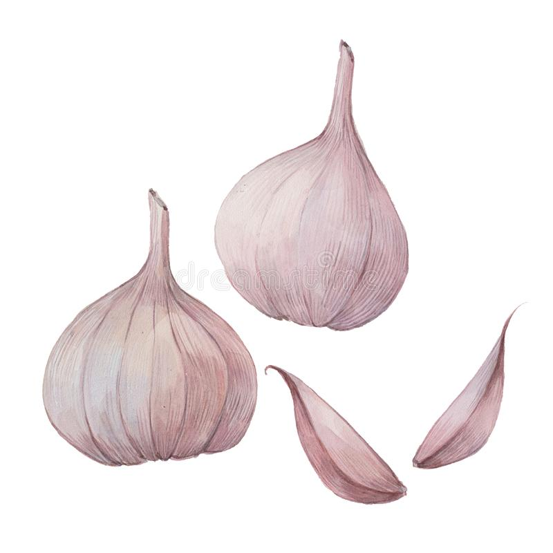 Head and cloves of garlic royalty free illustration