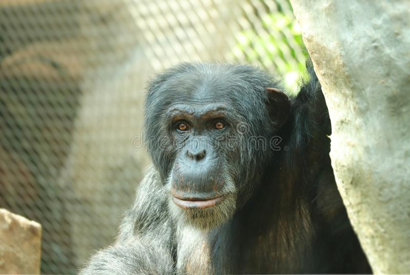 A head of common chimpanzee, Pan troglodytes, leader of the pack. He sitting on branch and waiting for food. He look at the camera stock photo