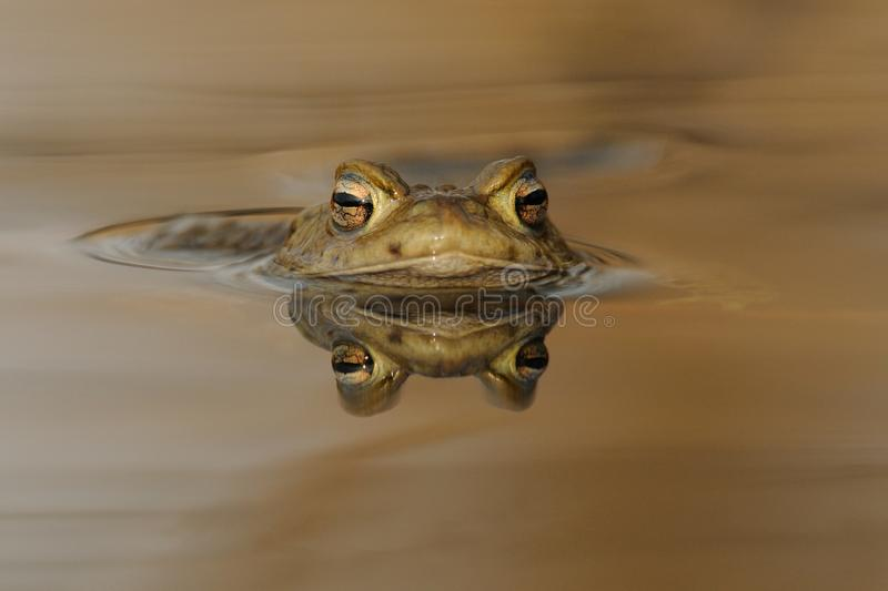 Head of a Common Toad. The colour in the water is from the sunlight. This toad you can also call european toad stock photos