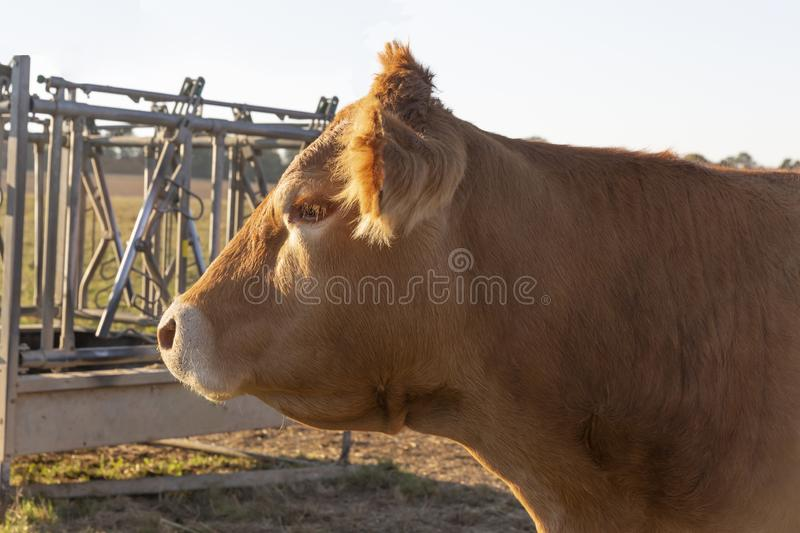Head from a Cow stock photography