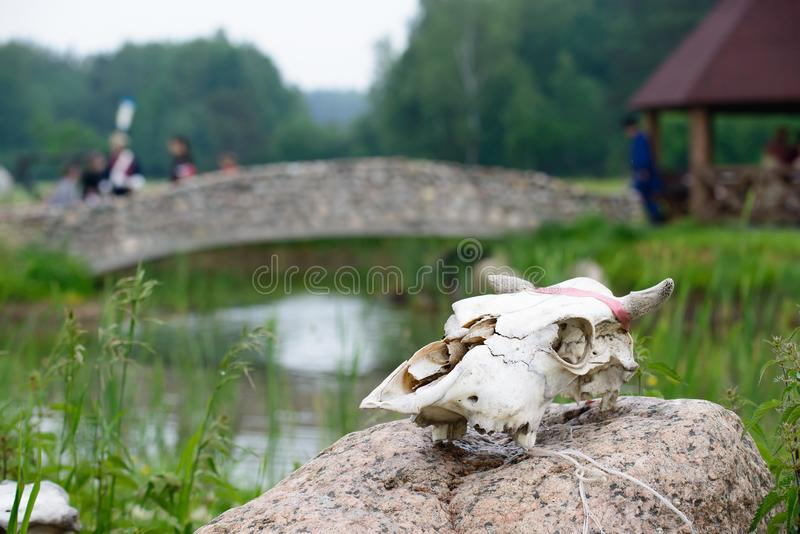 Head cow skull at stone. Head cow skull with little horns on stone. Rite of sacrifice, Traditions of paganism royalty free stock image