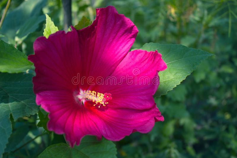 Head of dark pink mallow flower on nature background royalty free stock images