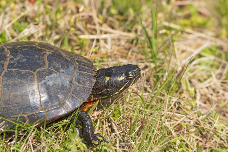 Head Deatails of an Eastern Painted Turtle. In the Chincoteague National Wildlife refuge in Virginia stock photos