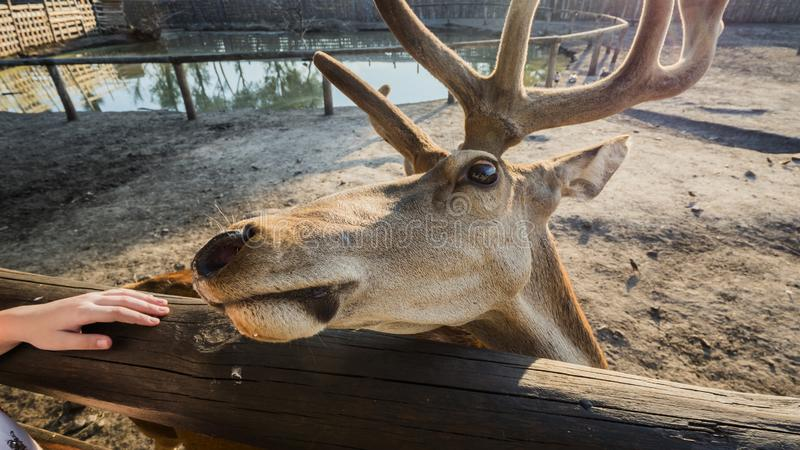 The head of a deer looks out from behind a fence in anticipation of a treat.  royalty free stock image