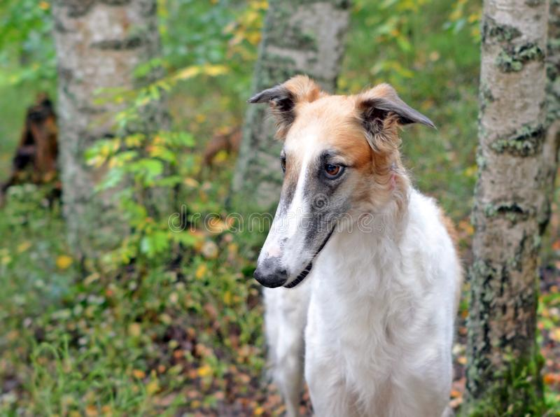 Head of dog breed borzoi or Russian wolfhound stock images