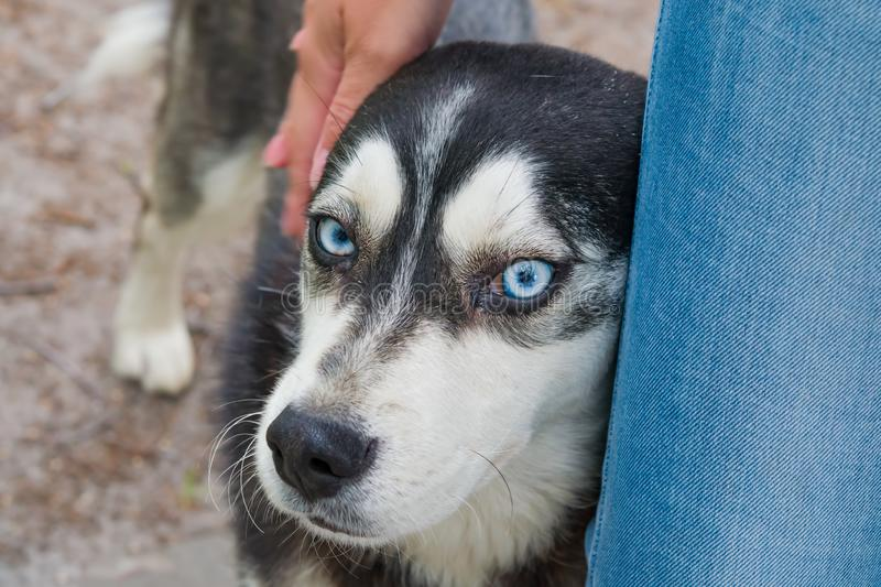 The head of the dog breed husky closeup is pressed against the leg of the girl in jeans, the concept of caring about animals,. Friendship royalty free stock image