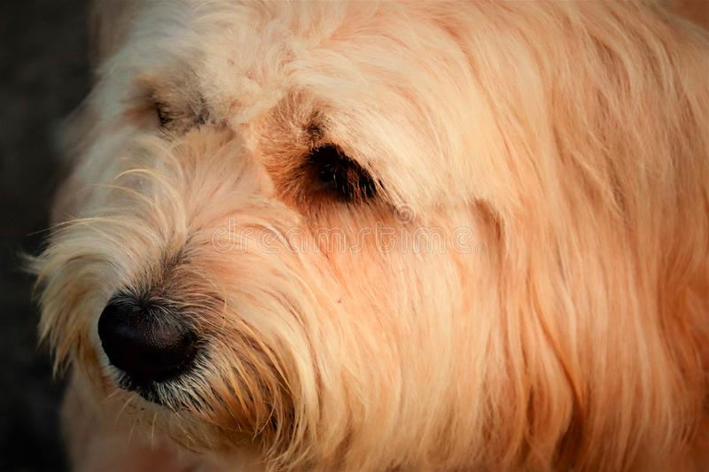 Head a dog and brown eyes. Is looking royalty free stock image