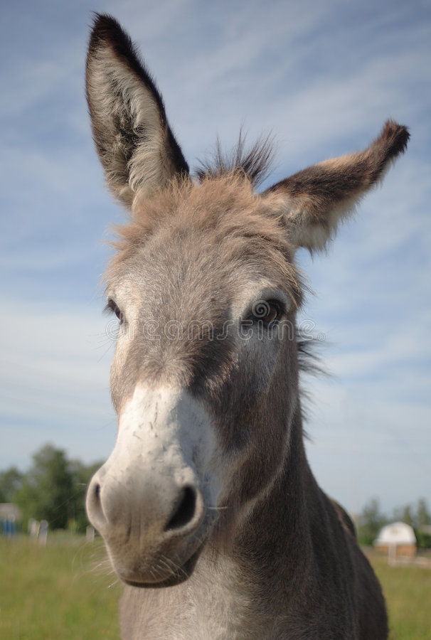 Download Head of donkey stock photo. Image of close, standing, detail - 5855516