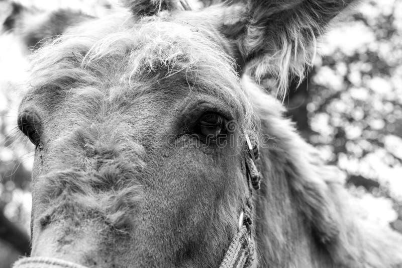 Head of a donkey close royalty free stock photos