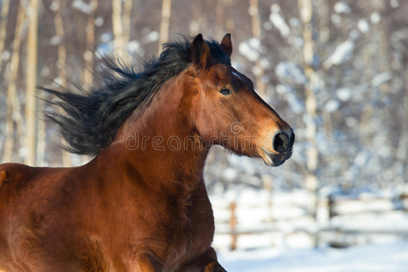 Head of a draft horse running in winter. Head of a draft horse running on winter background royalty free stock image