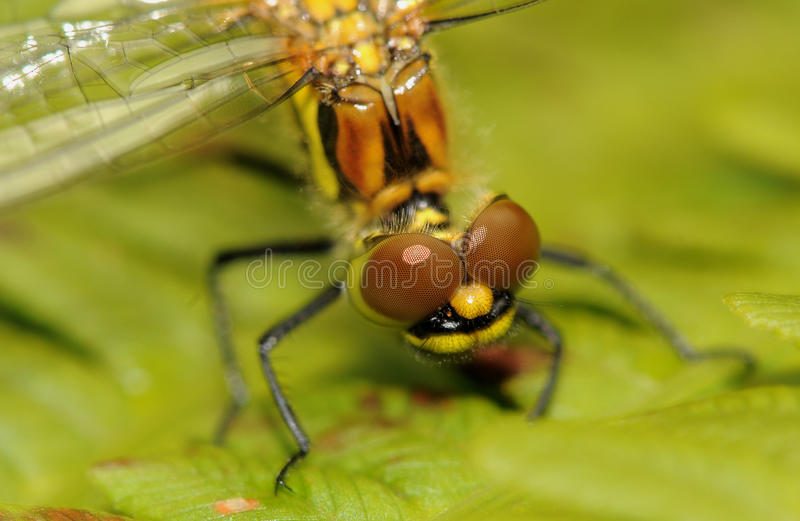 Head of a Dragonfly royalty free stock images
