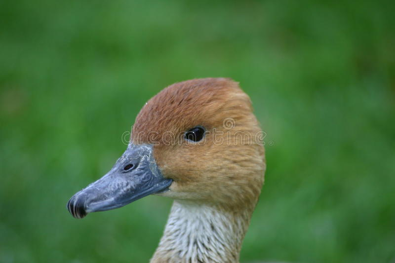 Head of duck looking cute. Duck looking cute with brown head and blue grey beak. On a green background stock photos