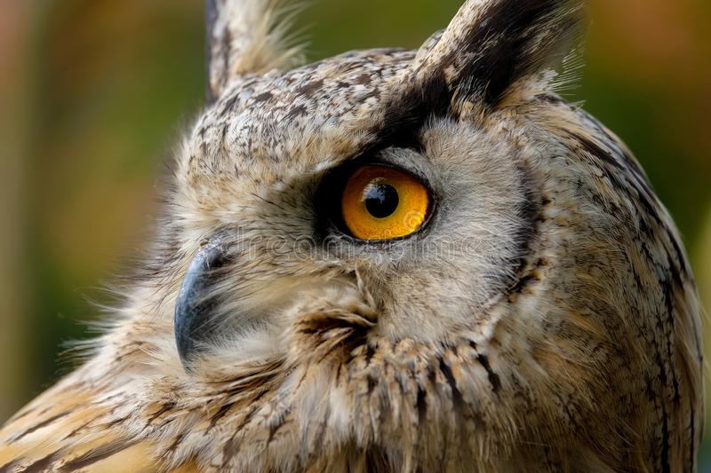The head of an eagle owl. In close up. One big eye is in the picture. The owl is looking above so you see the trees in his eyes stock image