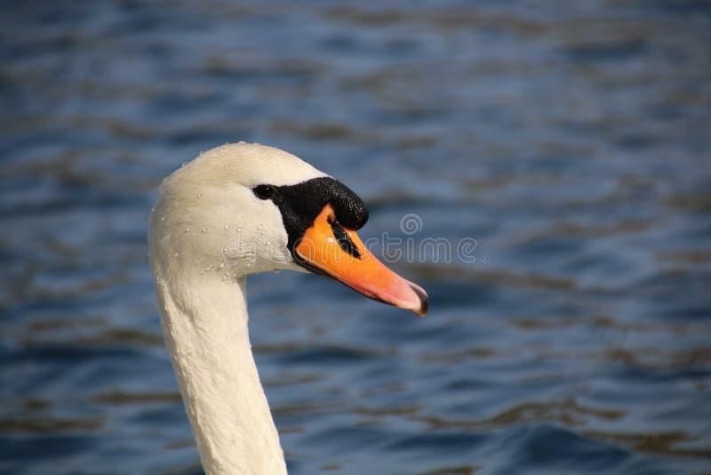 Head of elegant swan royalty free stock photos