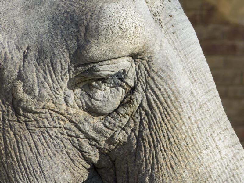 Head from Elephant royalty free stock image