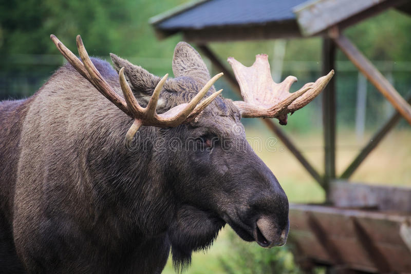 Head of an elk (Alces alces) with mighty antlers stock images