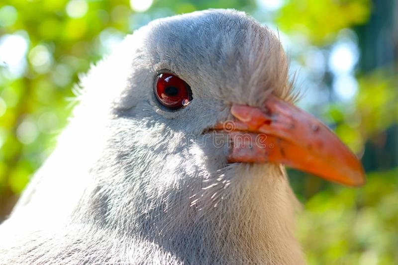 Head of an endangered and threatened rare kagu in quarter front view royalty free stock photography