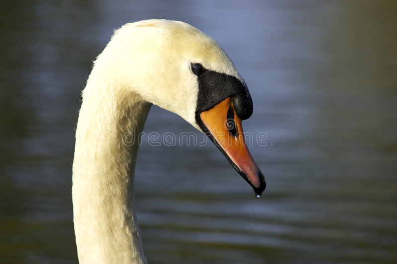 Download Head enkla swans arkivfoto. Bild av angus, behagfullt, lake - 285836