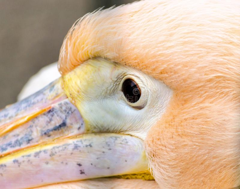 Head eye and part of pink pelican`s beak close up royalty free stock photos