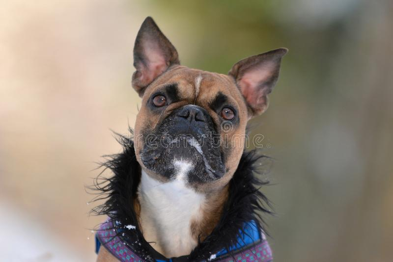 Head of a fawn French Bulldog with pointy ears and drool and foam around his mouth wearing a fur winter coat stock photo
